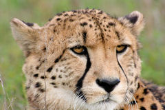 Cheetah gazing. Young male cheetah gazing into distance Royalty Free Stock Photography
