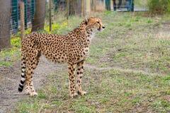 Cheetah Gepard, Acinonyx jubatus Stock Photo