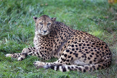 Cheetah Gepard on green grass Royalty Free Stock Photo