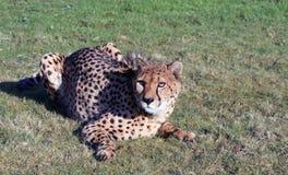 Cheetah 4 Stock Images