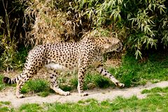 Cheetah going hunting Stock Photo