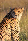 A cheetah in the golden afternoon sun. A male cheetah Acinonyx jubatus poses in golden afternoon light. Ol Pejeta Conservancy, Kenya Stock Photography