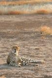 Cheetah in golden light Stock Photography