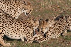Cheetah grabbing for meat Royalty Free Stock Photos