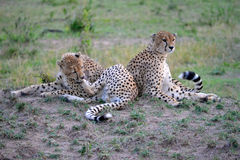 Cheetah. Graceful cheeath walking on the plains of the Serengeti in Tanzania Royalty Free Stock Images