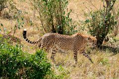 Cheetah. Graceful cheeath walking on the plains of the Serengeti in Tanzania Royalty Free Stock Image