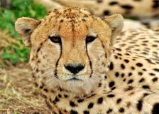 Cheetah. Graceful cheeath walking on the plains of the Serengeti in Tanzania Royalty Free Stock Photo