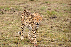 Cheetah. Graceful cheeath walking on the plains of the Serengeti in Tanzania Stock Photography