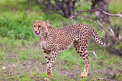Cheetah. Graceful cheeath walking on the plains of the Serengeti in Tanzania Stock Images