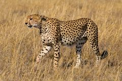 Cheetah. Graceful cheeath walking on the plains of the Serengeti in Tanzania Stock Photo
