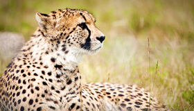 Cheetah. Graceful cheeath walking on the plains of the Serengeti in Tanzania Royalty Free Stock Photos