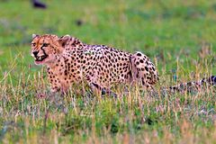 Cheetah. Graceful cheeath walking on the plains of the Serengeti in Tanzania Royalty Free Stock Photography