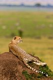 Cheetah. Graceful cheeath walking on the plains of the Serengeti in Tanzania Stock Image