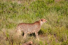 Cheetah. Graceful cheeath walking on the plains of the Serengeti in Tanzania Stock Photos