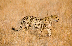 Cheetah in grass. A cheetah stalking its prey in the grass in South Africa royalty free stock images