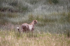 Cheetah In The Grass Royalty Free Stock Image
