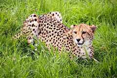 Cheetah in Grass. Wild african cheetah lying in the grass Royalty Free Stock Photo