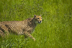 Cheetah in the grass Stock Photography