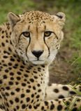 Cheetah in the grass. Cheetah looking into the distance Royalty Free Stock Photo