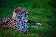 Cheetah in the grass Stock Images