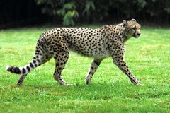 Cheetah on grass. Closeup of a cheetah of profile walking on grass Royalty Free Stock Images