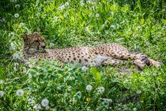 Cheetah on grass Royalty Free Stock Photos