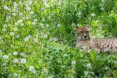 Cheetah on grass Royalty Free Stock Photography