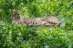 Cheetah on grass Stock Photos