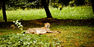 Cheetah on the grass Royalty Free Stock Photography