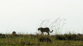 Cheetah with grass in foreground Royalty Free Stock Photos