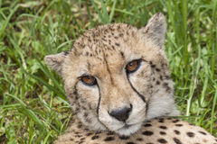 Cheetah in the grass Stock Image