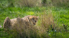 Cheetah in grassland Stock Photography