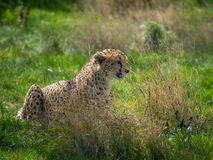 Cheetah in grassland Royalty Free Stock Photo