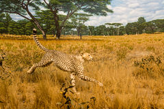 Cheetah in Grasslands. A cheetah running across the grasslands Royalty Free Stock Photography