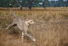 Cheetah in Grasslands Stock Image