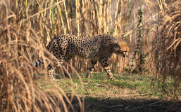 Cheetah - The Great Cat Stock Photography
