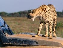 Cheetah growling Royalty Free Stock Image