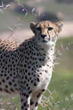 Cheetah on guard Royalty Free Stock Photo