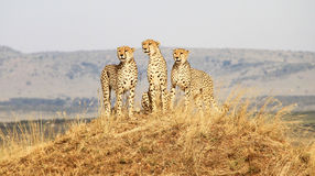 Cheetah on guard masai mara. Group of 3 Cheetahs looking for food on top of a hill Royalty Free Stock Photos