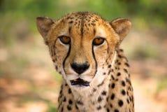 Cheetah in Harnas Stock Photos