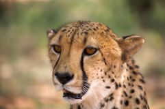 Cheetah in Harnas Royalty Free Stock Photo