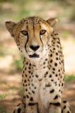 Cheetah in Harnas Stock Photo