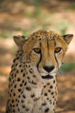 Cheetah in Harnas Royalty Free Stock Image