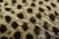 Cheetah. Has a wonderful pattern Stock Photography
