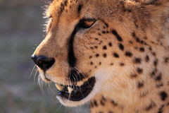 Cheetah head close up Royalty Free Stock Photography
