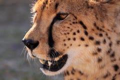 Cheetah head close up Royalty Free Stock Photography