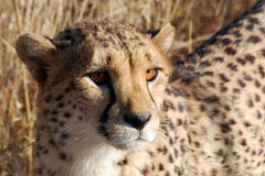 Cheetah head detail, looking in the camera Royalty Free Stock Photography