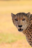 Cheetah head close up copy space Royalty Free Stock Images