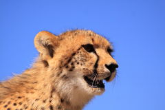 Cheetah head-Copyspace Royalty Free Stock Photo