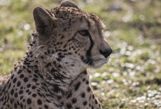 Cheetah head Stock Photo